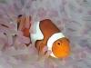 02_clownfish_amphiprion_percula_16_11_nx2_small