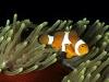06_clownfish_small