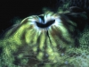 07_giant_clam_siphon_8_18_nx2_small