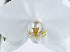 Nachtfalter_Orchidee,_Phalaenopsis_05a-kl